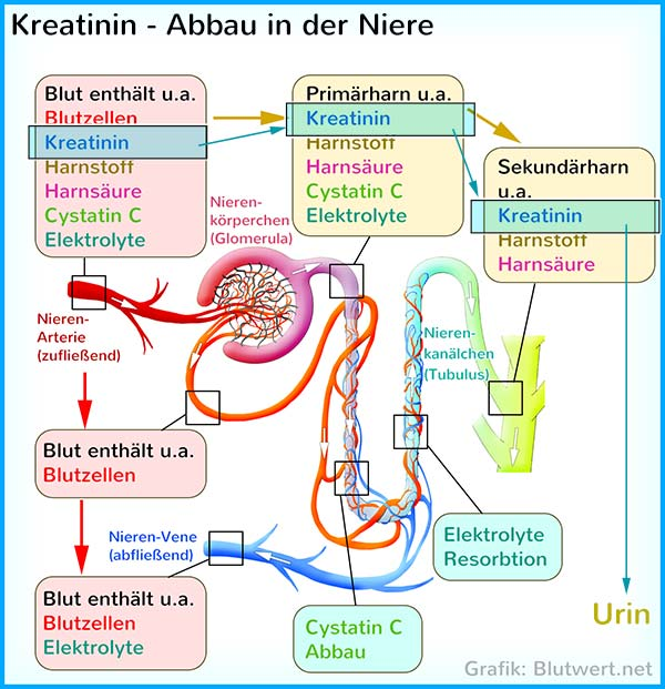 Kreatinin-Abbau in der Niere