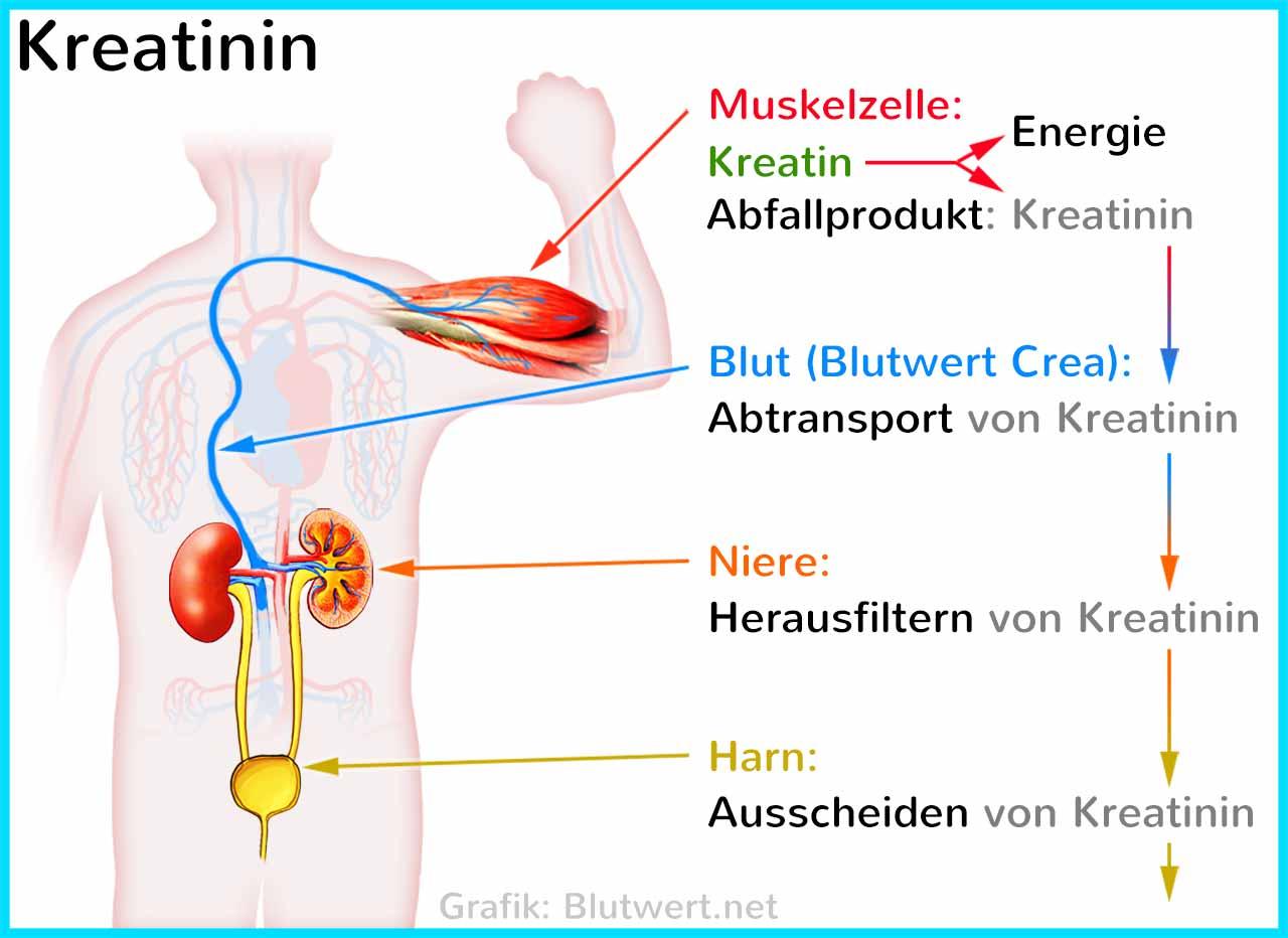 Blutbild Kreatinin